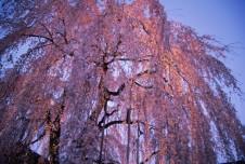 高楽寺(しだれ桜)
