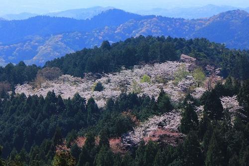 一丁平の千本桜