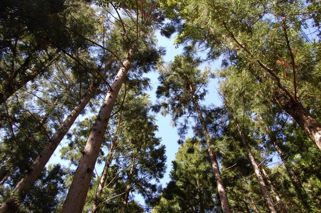 天気がよく空にのびる江川杉・静かなハイキング・トレッキングにおすすめ