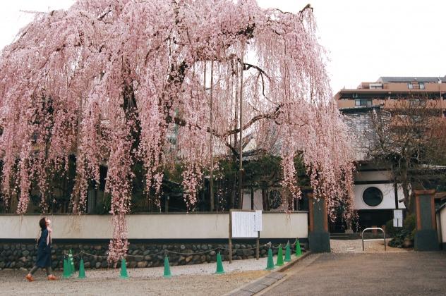 高尾・桜・開花