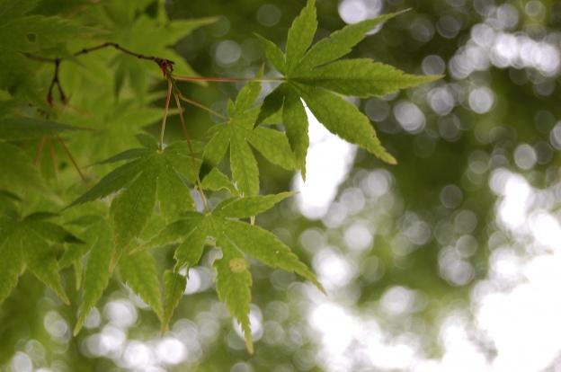 新緑のもみじ・11月のもみじまつりや紅葉シーズンになると格別