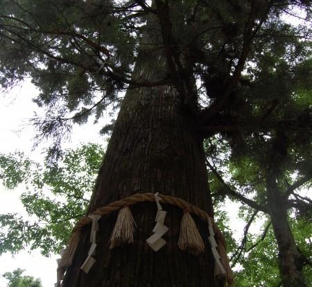天狗の腰掛杉