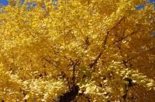 高尾山・高尾地域を彩る美しいもみじといちょうの紅葉♪