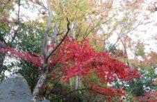 【2019年秋の高尾山】紅葉の見頃は12月初旬まで